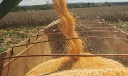 Milho mantém trajetória de alta em outubro, afirma o Cepea
