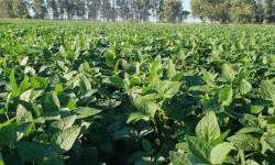 Técnica é capaz de aumentar produtividade de grãos em 26 sacas por hectare no Sul