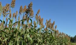 Zoneamento agrícola do sorgo forrageiro já está disponível para produtores rurais