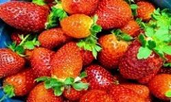 Estudo confirma viabilidade do cultivo de morango hidropônico no Distrito Federal