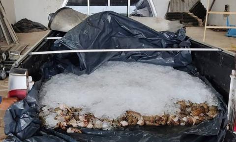 Sefa apreende uma tonelada de lagosta e camarão no nordeste do PA